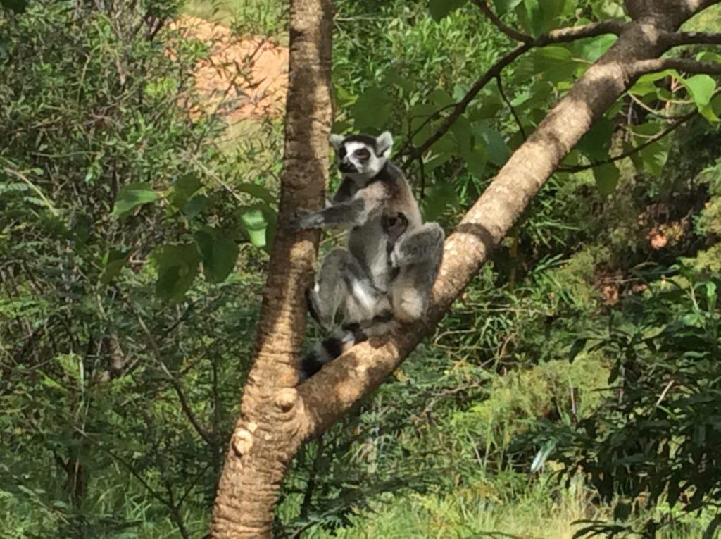 Koala in Madagascar
